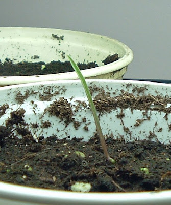 [Photo: Tradescantia ohiensis seedling.]
