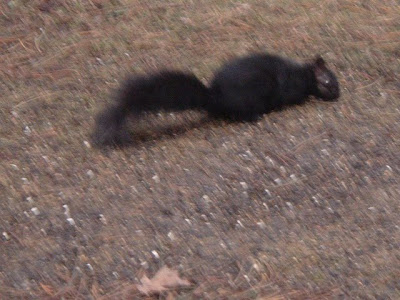 [Photo: black squirrel © Nicky Sztybel.]