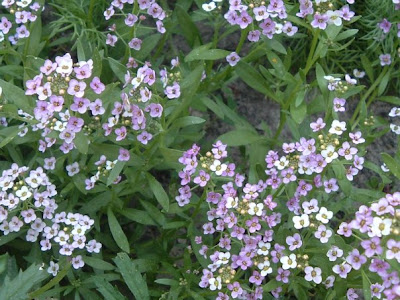 [Photo: lobularia maritima flowers.]