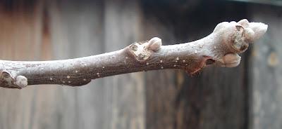 [Photo: close-up of buds on Juglans cinerea (?).]