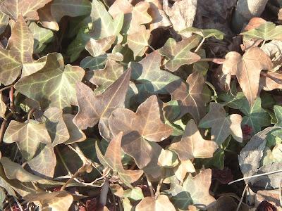 [Photo: Hedera helix foliage.]