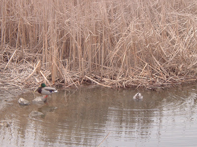 [Photo: ducks, Woodbine Park.]