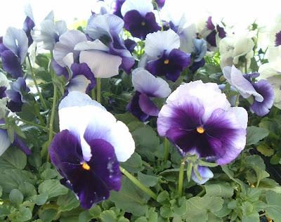 [Photo: Viola x wittrockiana Delta Premium Beaconsfield.]