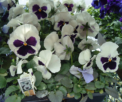 [Photo: Viola x wittrockiana Delta Premium White Blotch.]