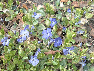 [Photo: Vinca minor in bloom.]