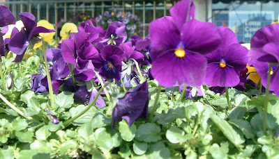[Photo: Violas, unknown purple cultivar.]