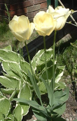 [Photo: pale yellow tulips.]