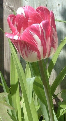 [Photo: dark pink and white tulip.]