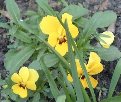 [Photo: yellow violas.]
