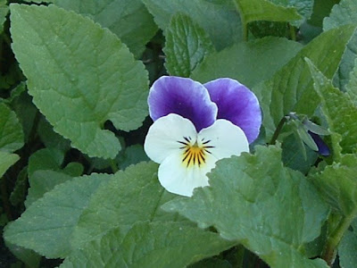 [Photo: purple and white viola.]