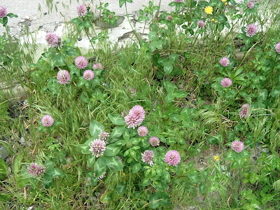 [Photo: Trifolium pratense.]