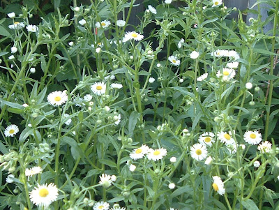 [Photo: Erigeron annuus flowers.]