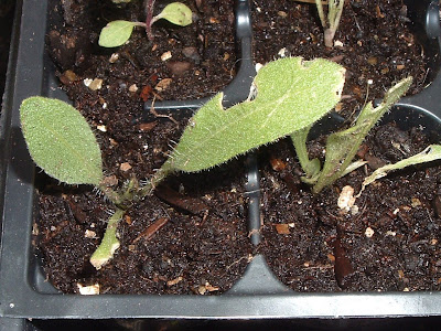 [Photo: Gaillardia aristata seedlings.]