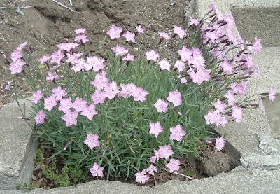 [Photo: Dianthus gratianopolitanus 'Bath's Pink'.]