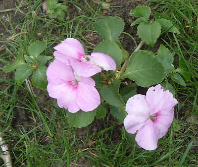 [Photos: Impatiens walleriana Accent Lavender Blue.]