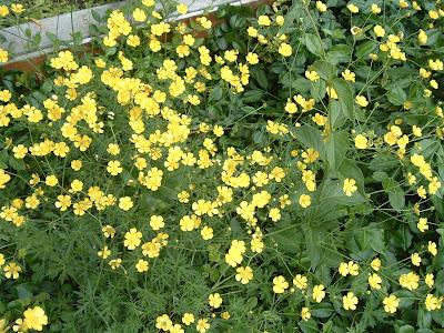 [Photo: Ranunculus acris.]