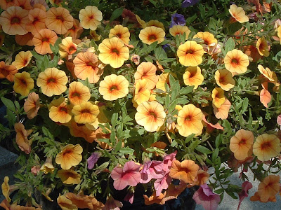 [Photo: Calibrachoa.]