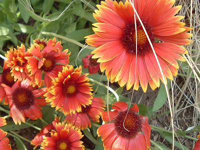 [Photo: Gaillardia aristata blooms.]