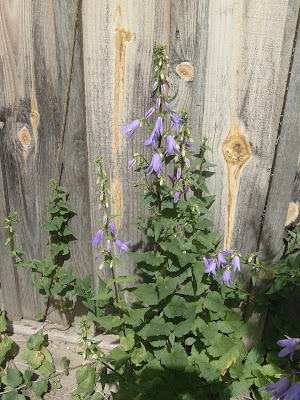 [Photo: Campanula rapunculoides in bloom.]