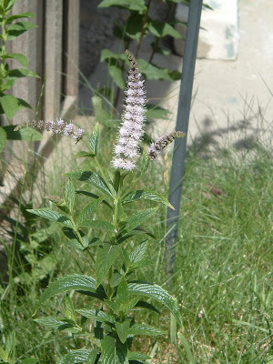 [Photo: Mentha sp. flower spike.]