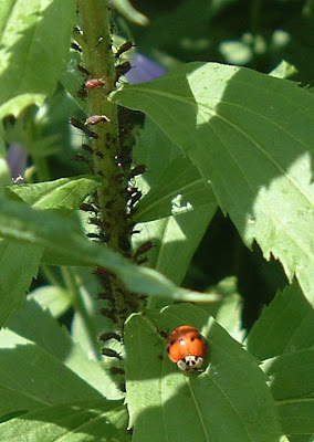 [Photo: ladybug near colony of aphids.]