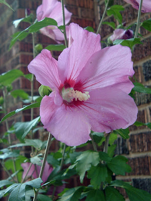 [Photo: Hibiscus syriacus.]