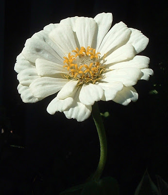 [Photo: Zinnia elegans 'Polar Bear'.]