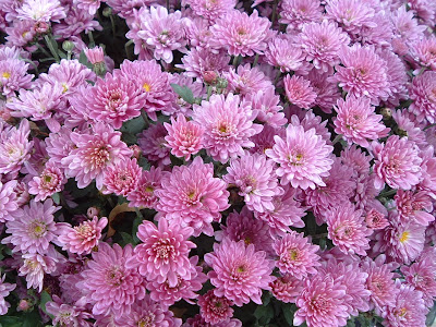 [Photo: Chrysanthemum sp.]