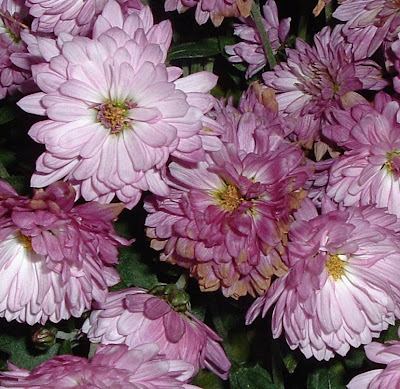 [Photo: pink Chyrsanthemums.]