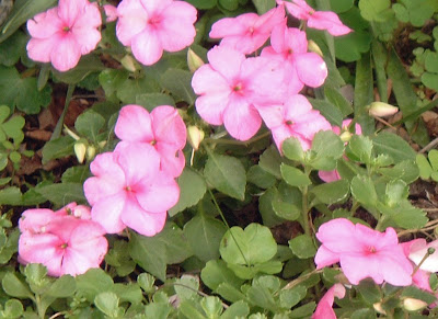 [Photo: Impatiens walleriana 'Xtreme™ Pink']