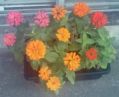 [Photo: Zinnia elegans 'Magellan Persian Carpet Mix'.]