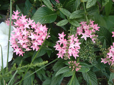 [Photo: Pentas lanceolata 'New Look Pink'.]