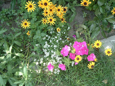 [Photo: Rudbeckia hirta, Petunia 'Carmine Madness', and Lobularia maritima 'Snowstorm'.]