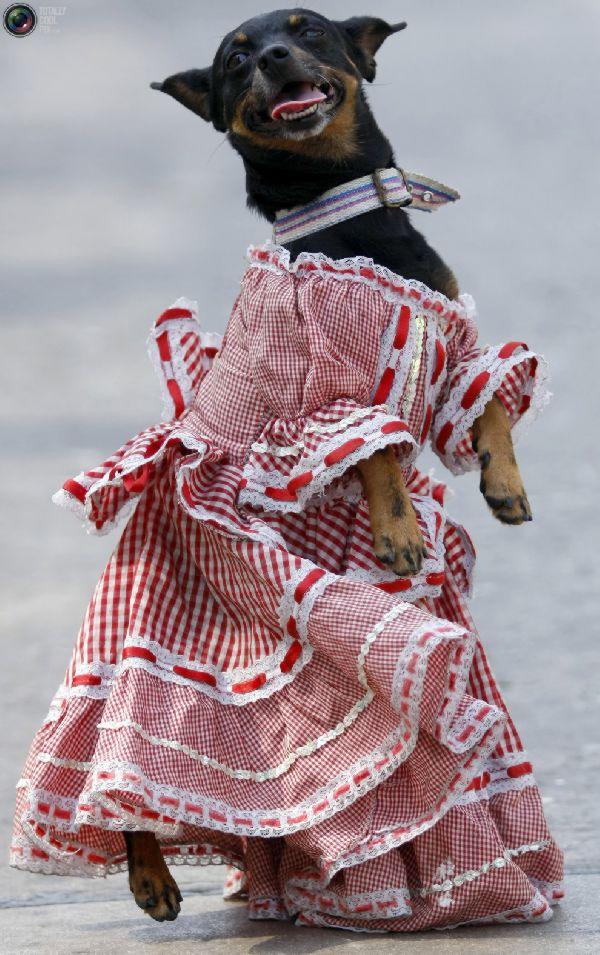 Busana Anjing