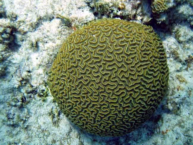 Brain Coral si Koral Mirip Otak
