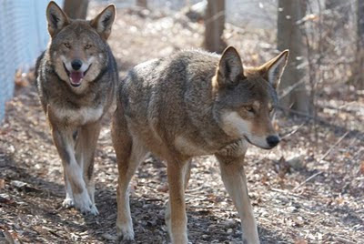 red wolf images