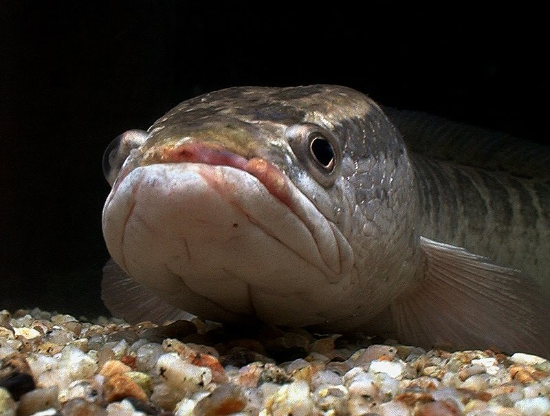 Ikan Kutuk