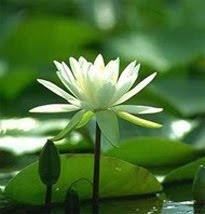 The National Flower of Bangladesh