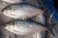 The National Fish of Bangladesh