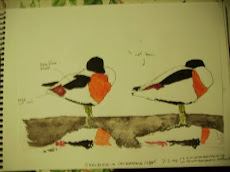 Shelduck Drawing