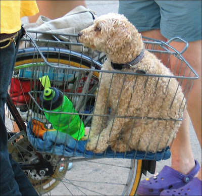 Dog in a bike basket
