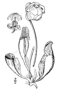 Sarracenia purpurea