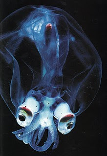 Photos of Glass Squid - Mitra Images :: Image Resources On The Net