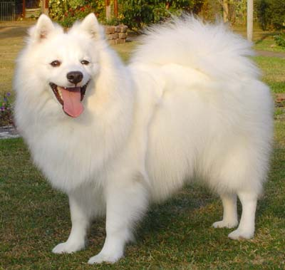 Japanese Spitz Dog Breeds