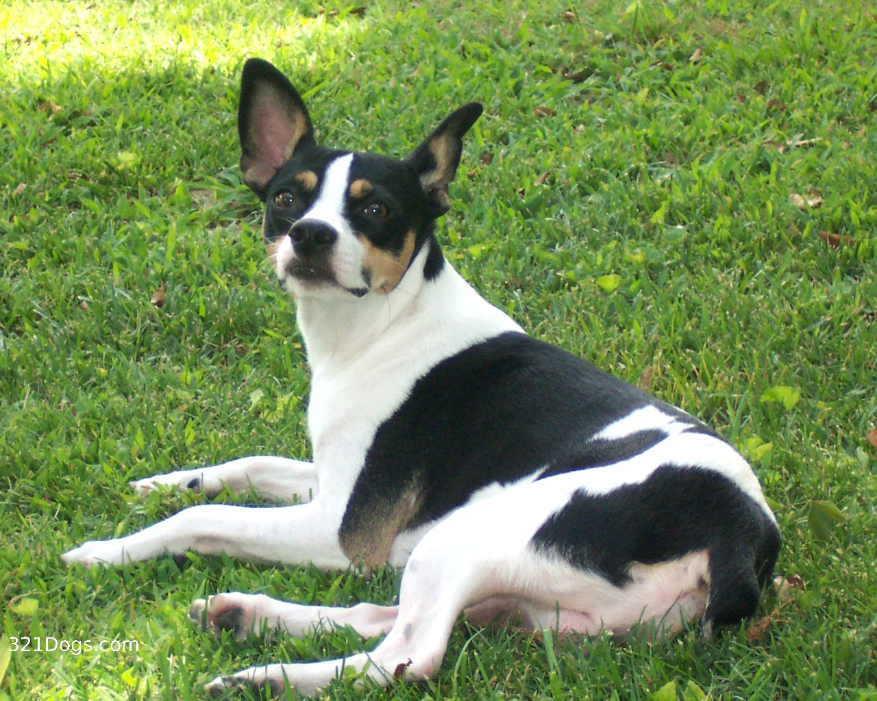 rat terrier wallpaper