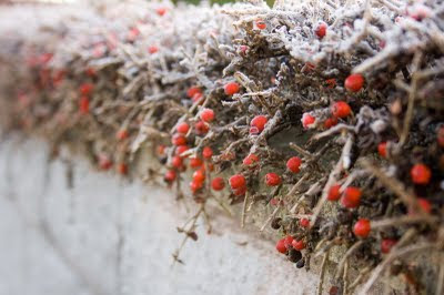 frost on berry hedge