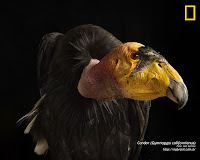 Condor - Gymnogyps Californianus
