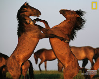 Mustangues