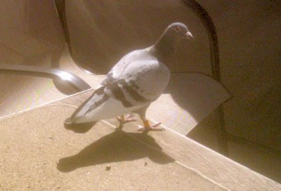 how to get pigeons to come to you