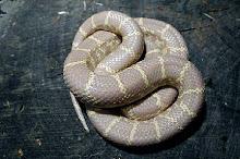 Getula Albino King Snake